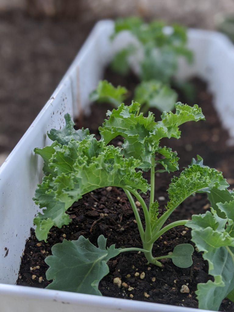 growing kale in summer